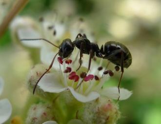 Ant feeding