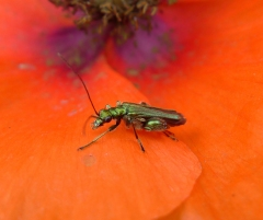 beetle and poppy