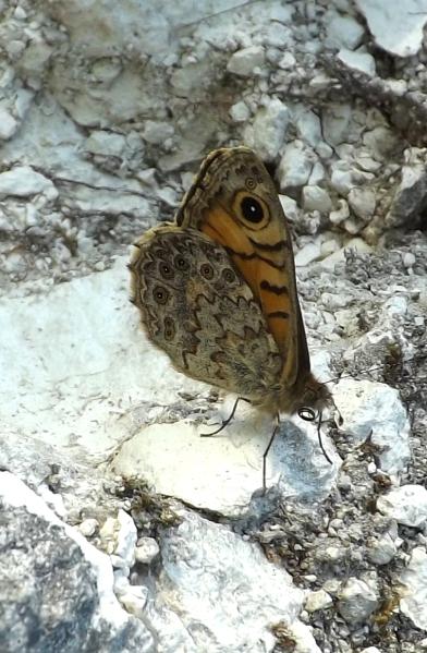 geoff's butterfly